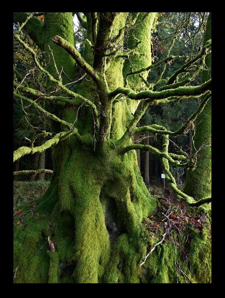 portrait d arbre foret Braspartz