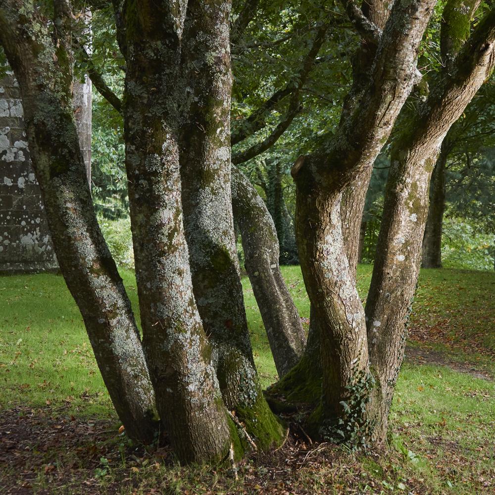 arbres en foret de Plomelin,rive de l Odet , Finistère