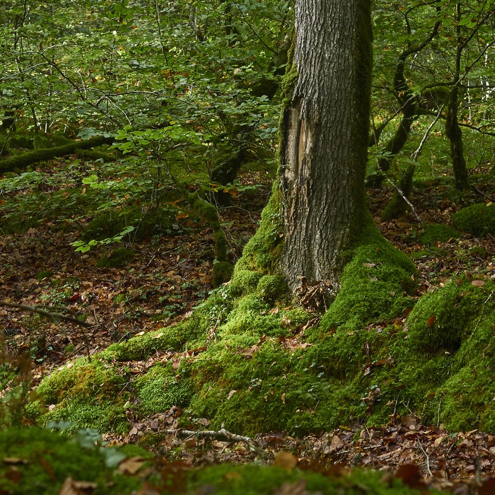 arbres en foret d Huelgoat