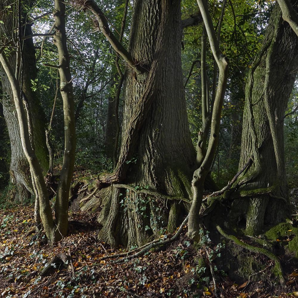 arbres en foret de Plomelin,rive de l Odet
