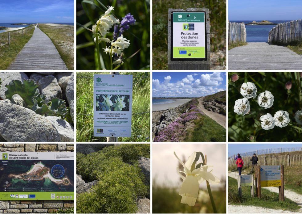 protection des dunes archipel des Glénan narcisse