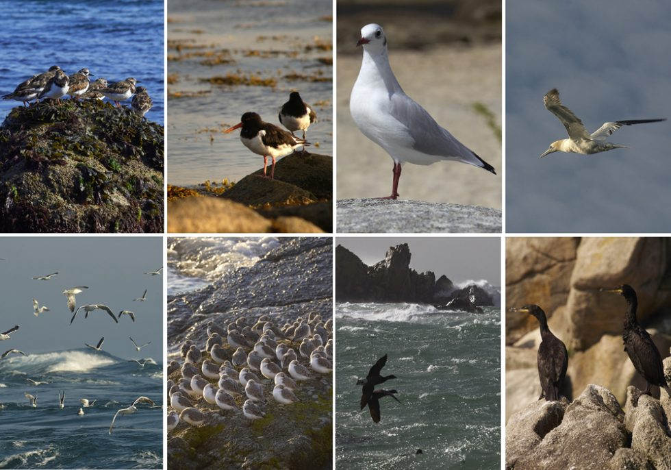 oiseaux marins finistériens